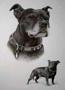 Staffy, stafordshire terrier pet portrait, dog drawings by Julie
