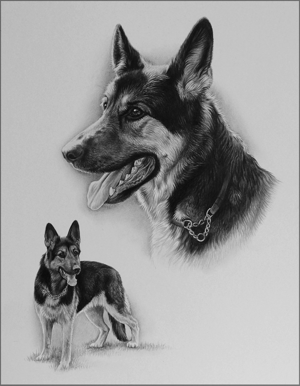 german shepherd dog pencil pet portrait, by Julie Rhodes