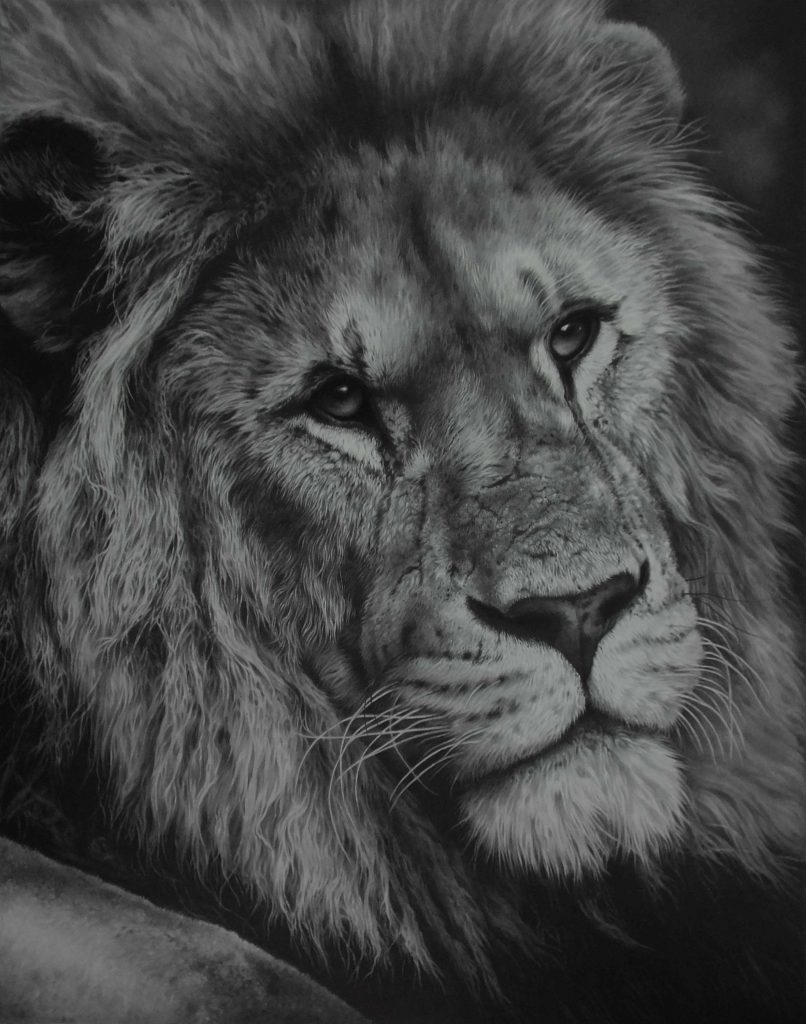 lion pencil drawing bgy Julie Rhodes wildlife artist