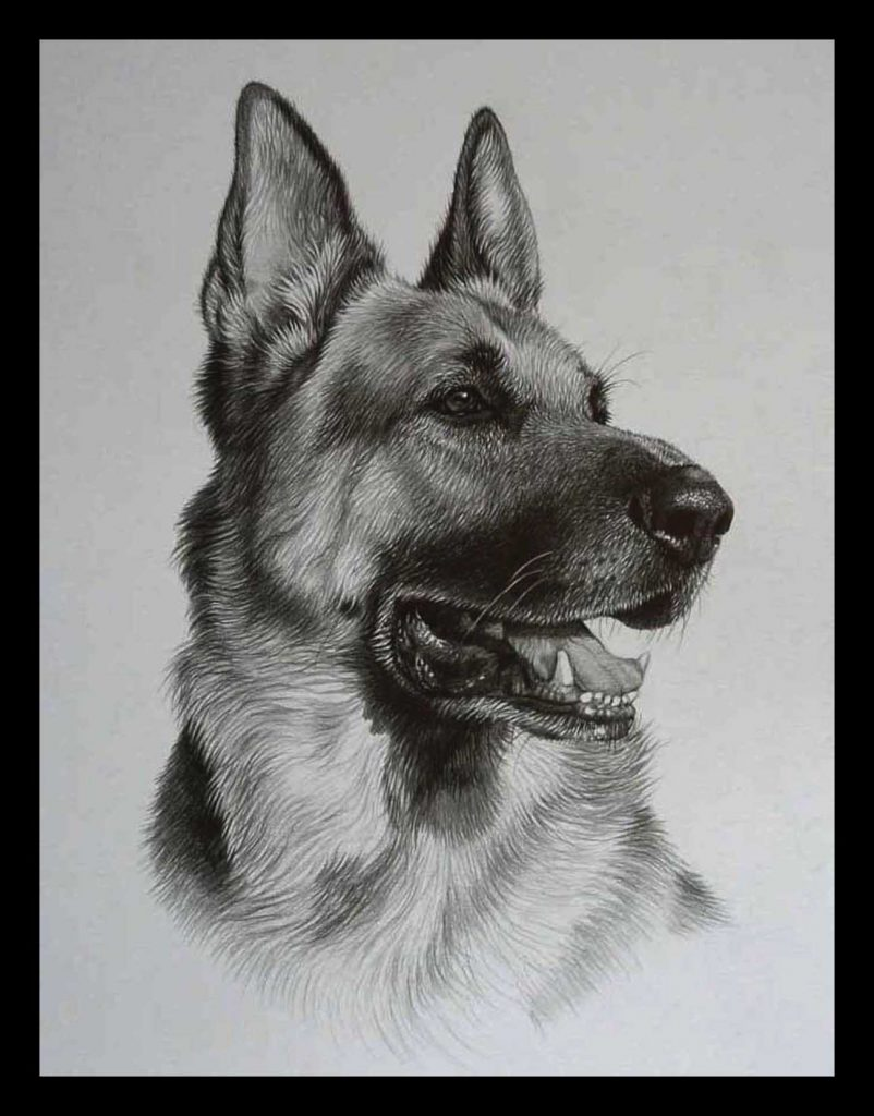 Alsation dog pencil drawing by Julie Rhodes