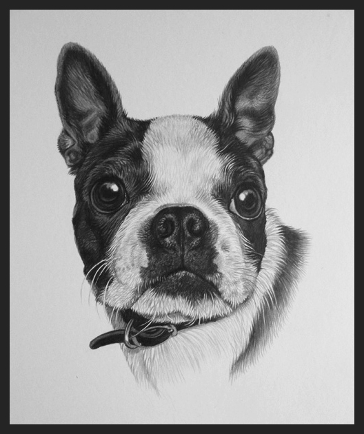 American bulldog miniature pet portrait in pencil by Julie Rhodes