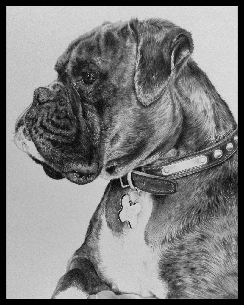 boxer dog pencil drawing portrait by Julie Rhodes